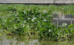 Water Hyacinth (Source: ECCP archive)