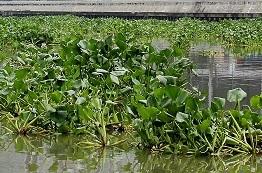 Water Hyacinth (Source: ECCP archive)