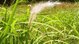 Cogon Grass (Imperata cylindrica)(Source:www.fanninmastergardeners.com)