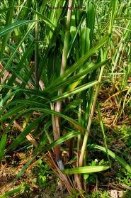 Sugar Cane in Okinawa (Source:www.ryukuheritagetextiles.com)