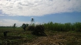 Sugar Cane field in Negros Occidental, the sugar capital of the Philippines.