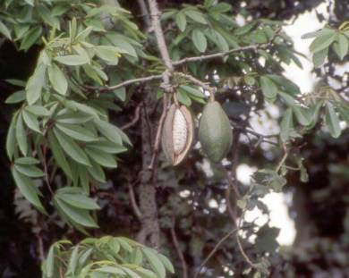 Inside the kapok fruit (Source: http://www.feedipedia.org/node/48)