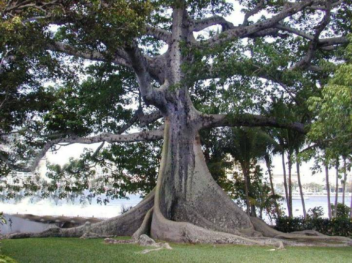 kapok_tree_wallpaper_tvpfg